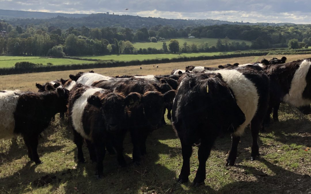 All About Our Belted Galloway Beef